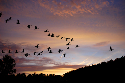 Canada Geese fly across a traquil sky at dusk.